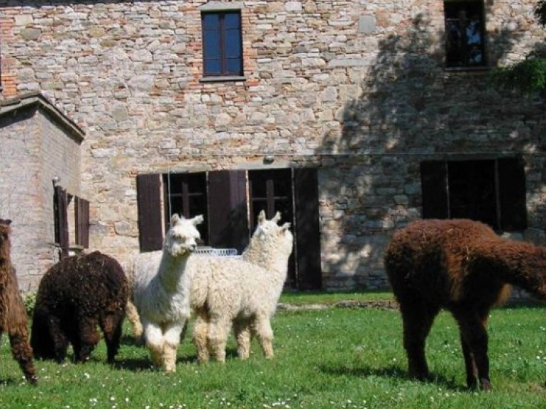 Sweet Alpacas stroll undisturbed in the quiet of the farm Maridiana Alpaca Umbertide, Perugia, Italy