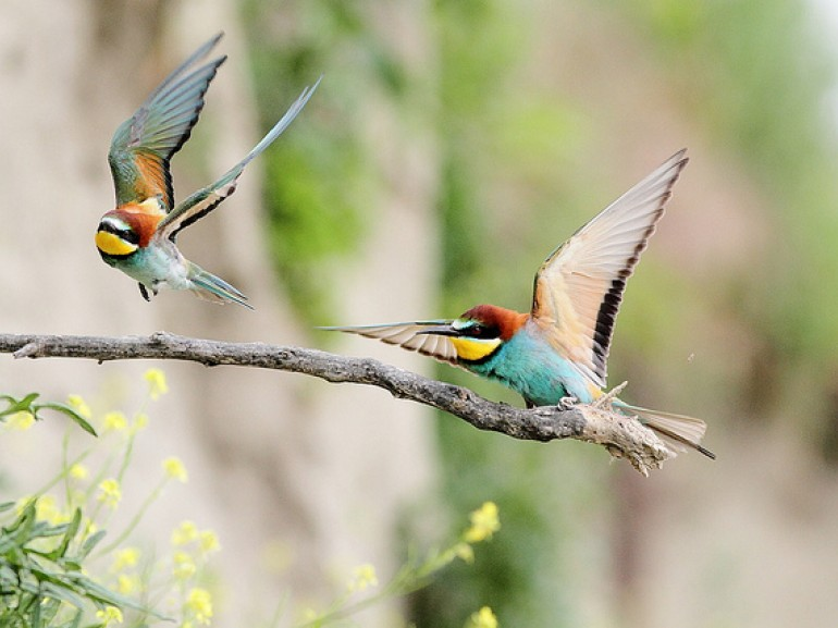 Two bee eater