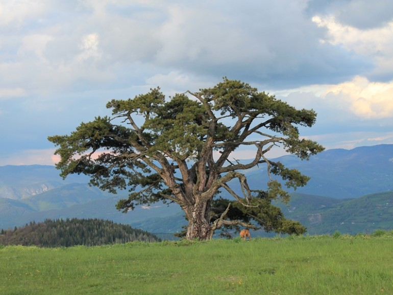 Old pine symbol of the country, 500 years: a test of longevity of the inhabitants of Kamena Gora