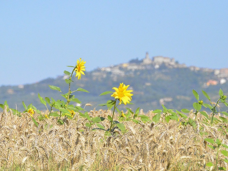 wheat fields with sunflowers. on the back a hill with a village