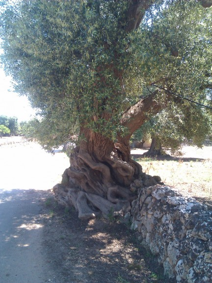 An olive tree set in correspondence with a dry stone wall which performs the dual function of protection of biodiversity and drainage for water