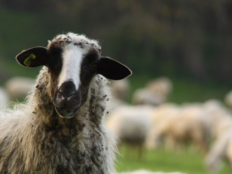 Sheep of the Roman countryside, which yields the exquisite percorino.