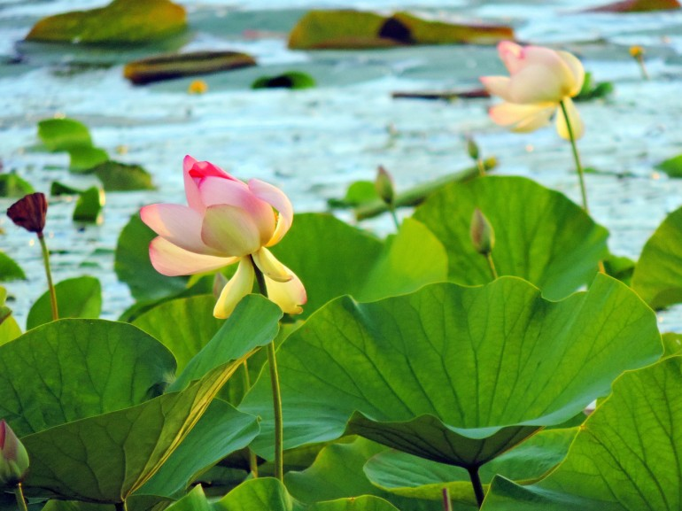 Lotus flowers floating in the lake of Varese