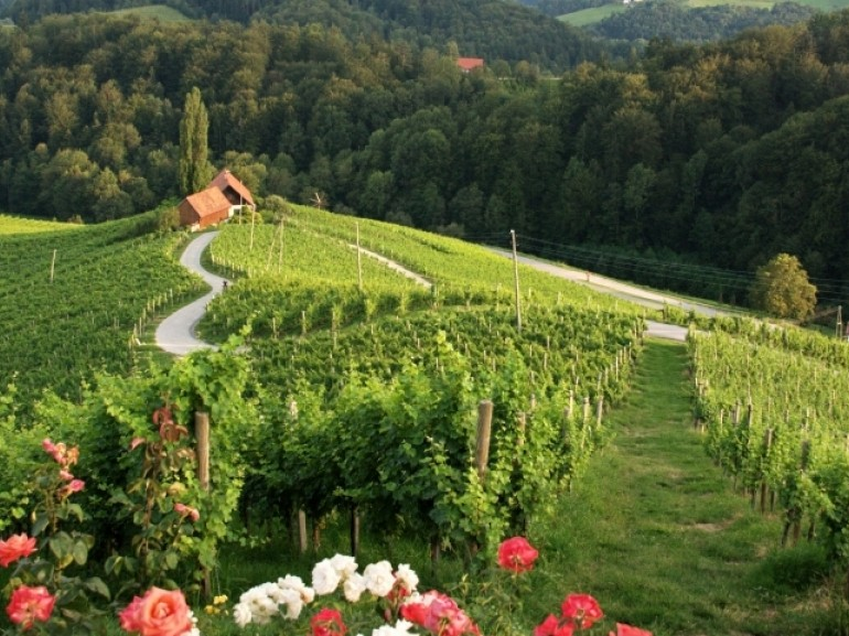 Vineyards near Maribor, one of the wine capitals of Slovenia