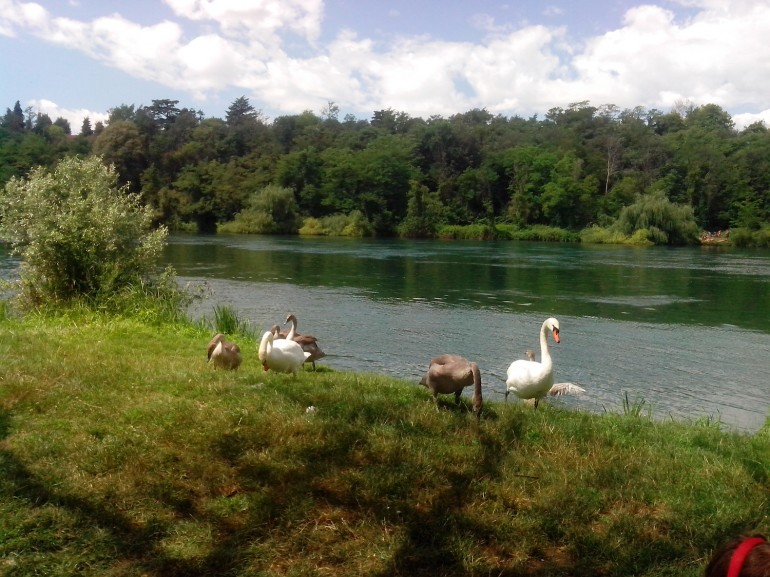 A swans family on the bank of the river Adda