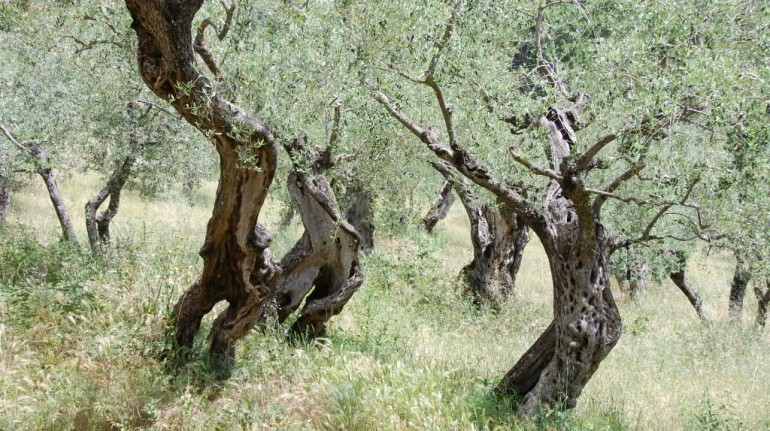 olive trees in a field